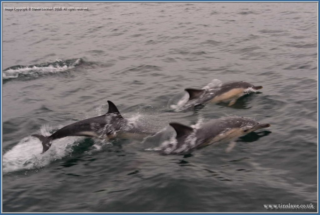 Dolphinss. Sound of Sleat